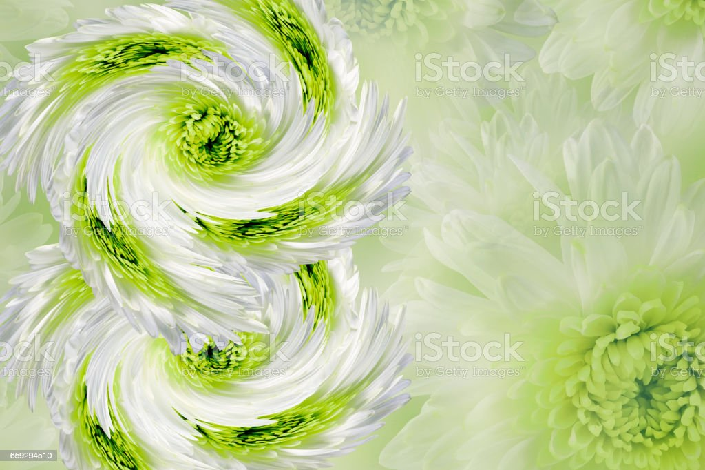 flowers on blurry white-green-gray background. green-white  flowers chrysanthemum.  floral collage.  Flower composition.  March 8.  Nature. stock photo