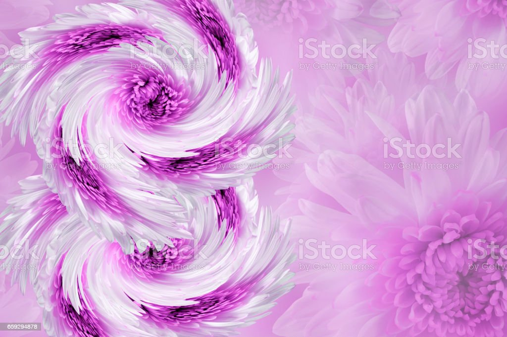 flowers on blurry white-pink background. Blue-white  flowers chrysanthemum.  floral collage.  Flower composition.  March 8.  Nature. stock photo
