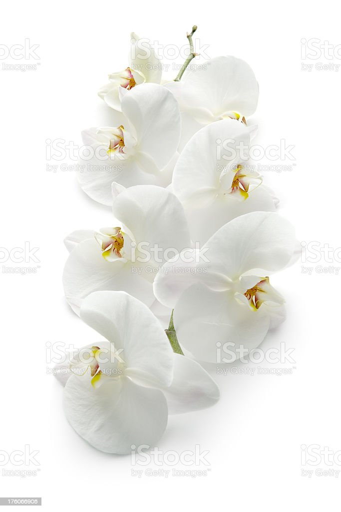 Flowers: Orchid royalty-free stock photo