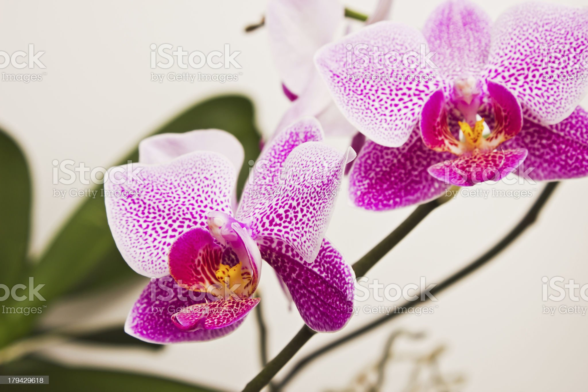 flowers orchids royalty-free stock photo