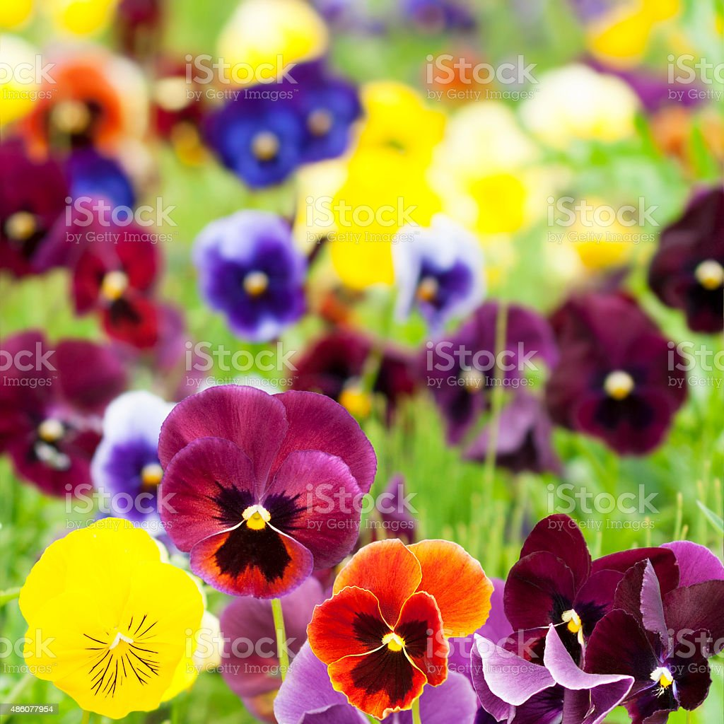 Flowers pansy stock photo