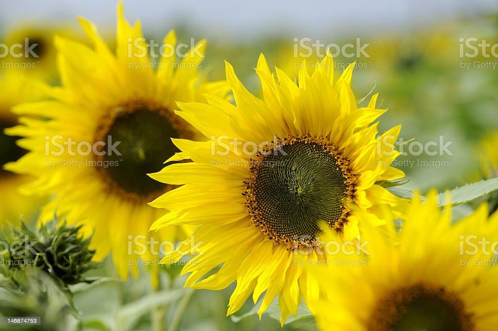 Flores foto de stock libre de derechos