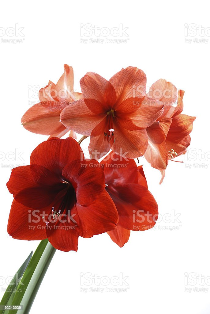 Flowers royalty-free stock photo