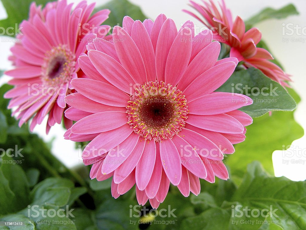 Flowers - Pink Gerbera stock photo
