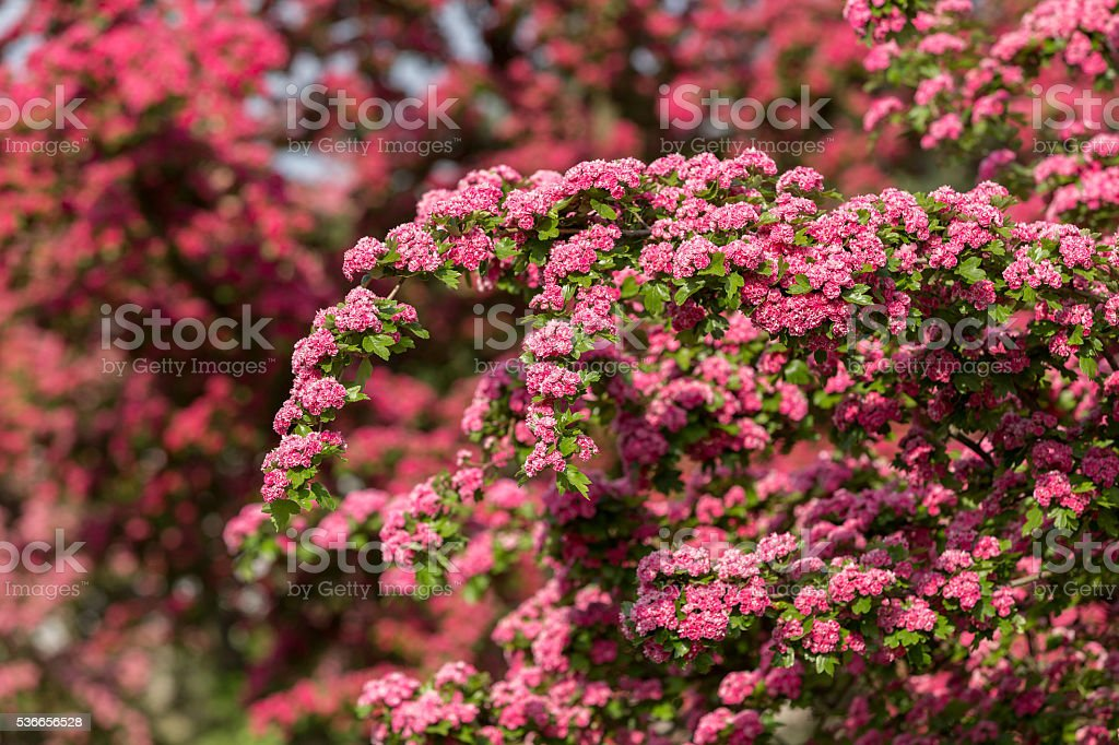 Flowers pink hawthorn. Tree pink hawthorn stock photo
