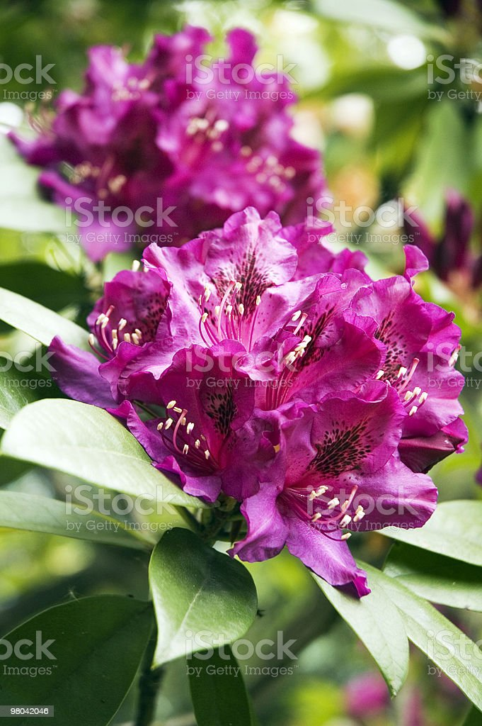 Flowers - Pink Rhododendron royalty-free stock photo