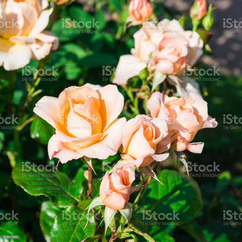 Flowers. Pink Roses in the garden stock photo