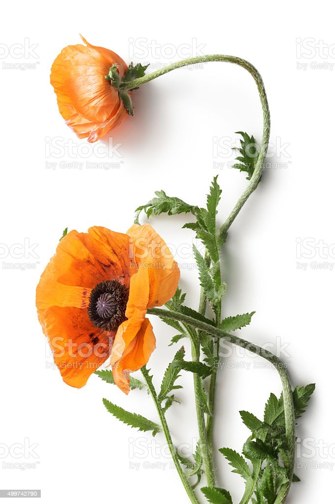 Flowers: Poppy stock photo