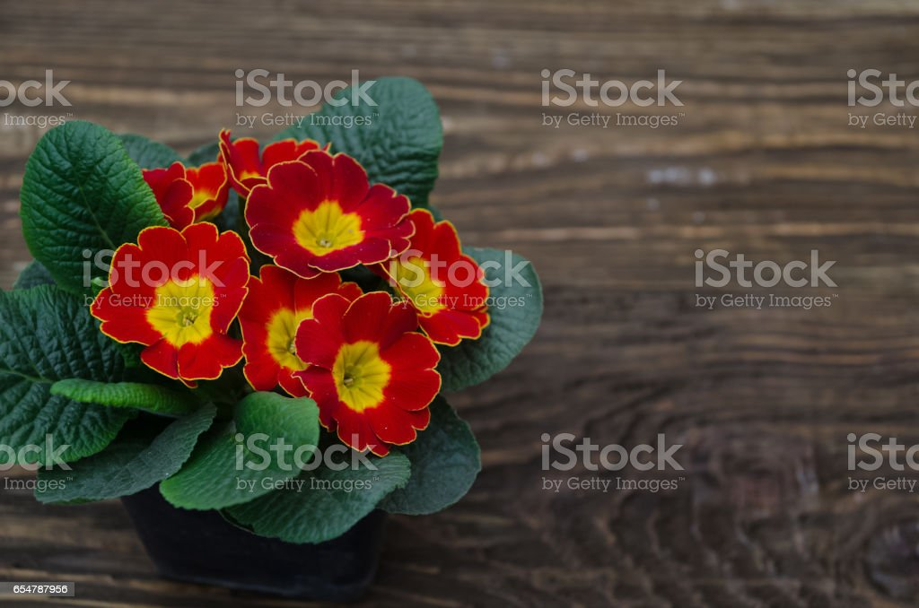Flowers primula on a wooden table background stock photo