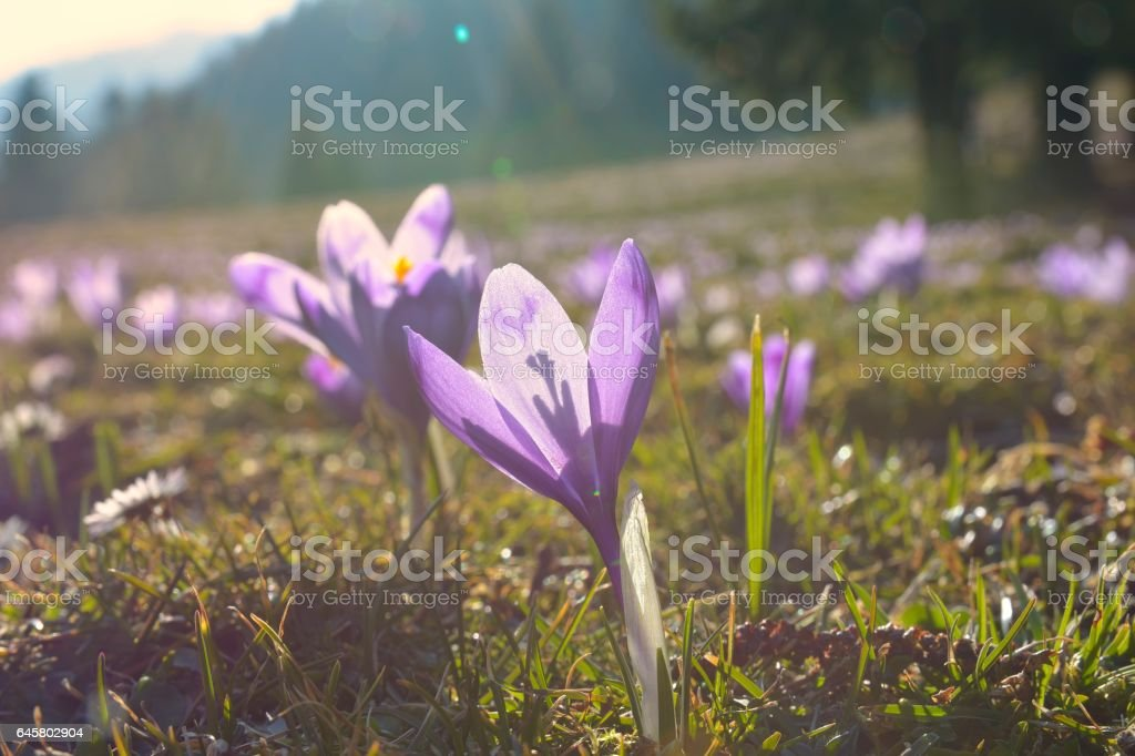 Flowers purple crocus stock photo