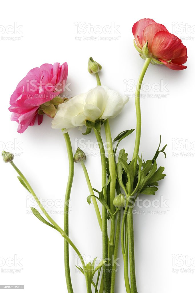 Flowers: Ranunculus stock photo