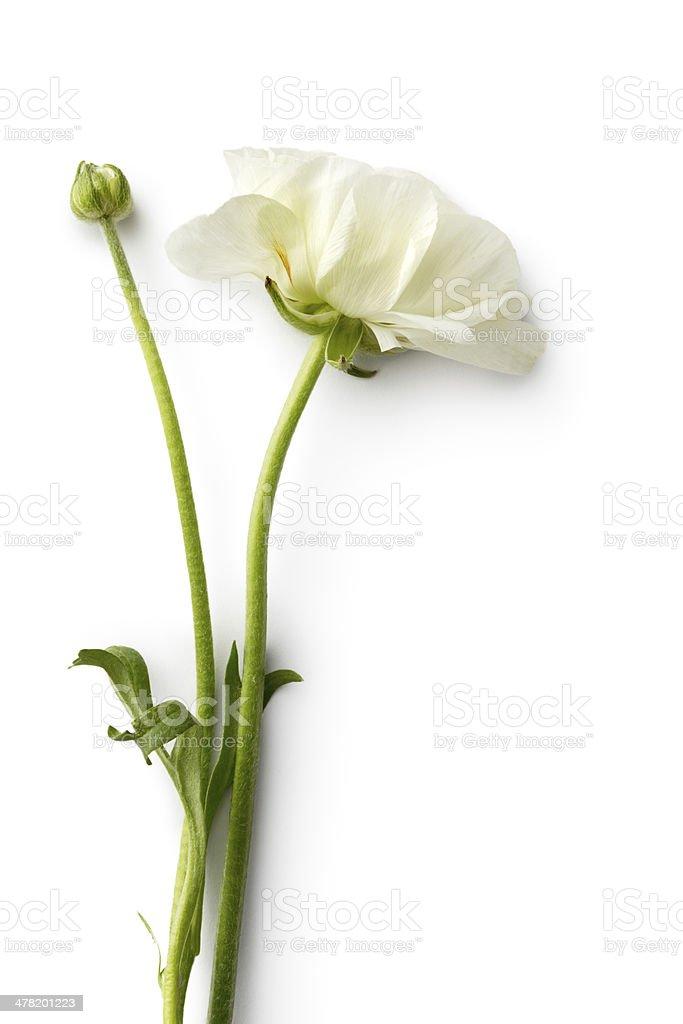 Flowers: Ranunculus stock photo