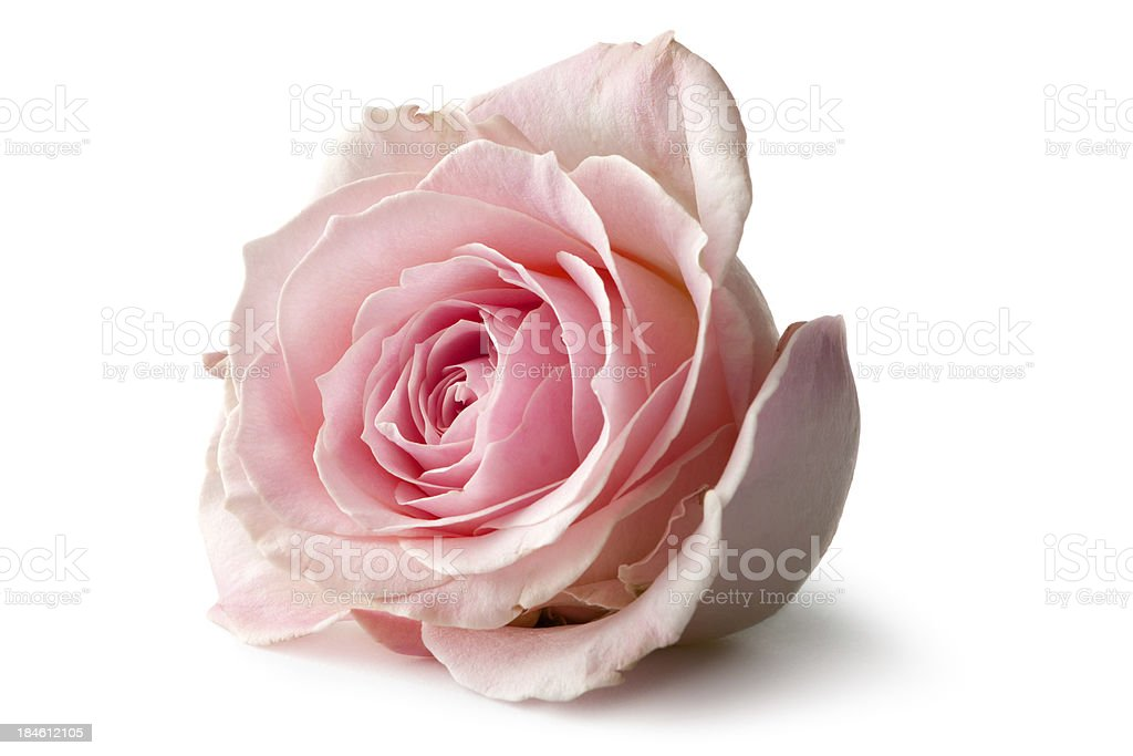 Flowers: Rose Isolated on White Background stock photo