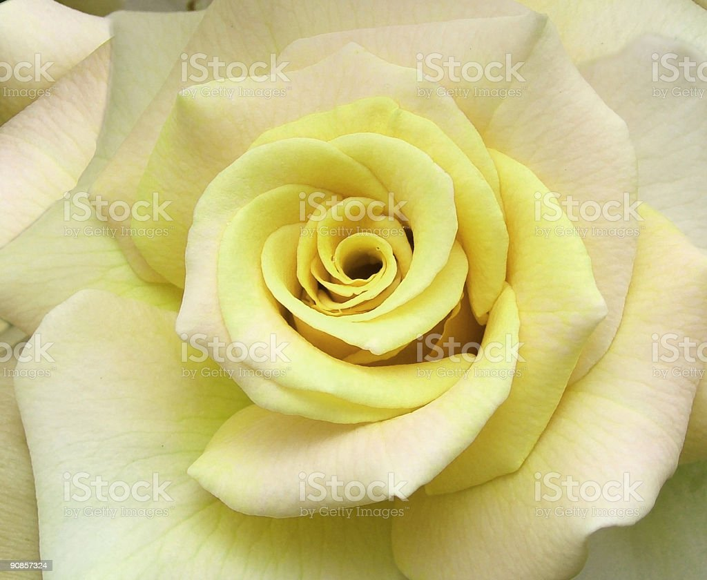 Flowers - Rose royalty-free stock photo