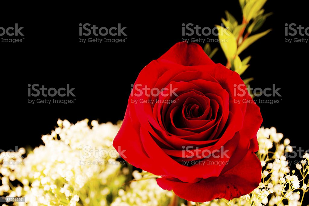 Flowers: Single red rose floral arrangement on black background. royalty-free stock photo