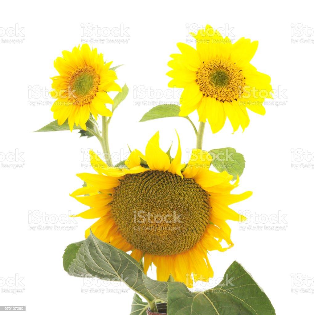 Flowers sunflowers. stock photo