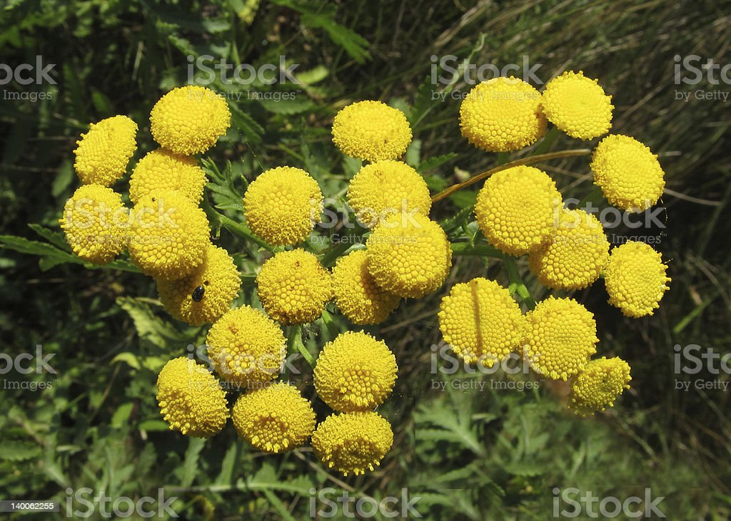 Flowers tansy royalty-free stock photo