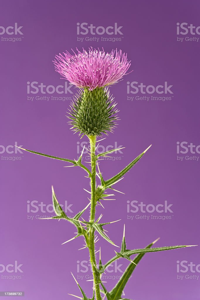 Flowers - Thistle on a Purlpe Background, Limited Focus. Vertical. royalty-free stock photo
