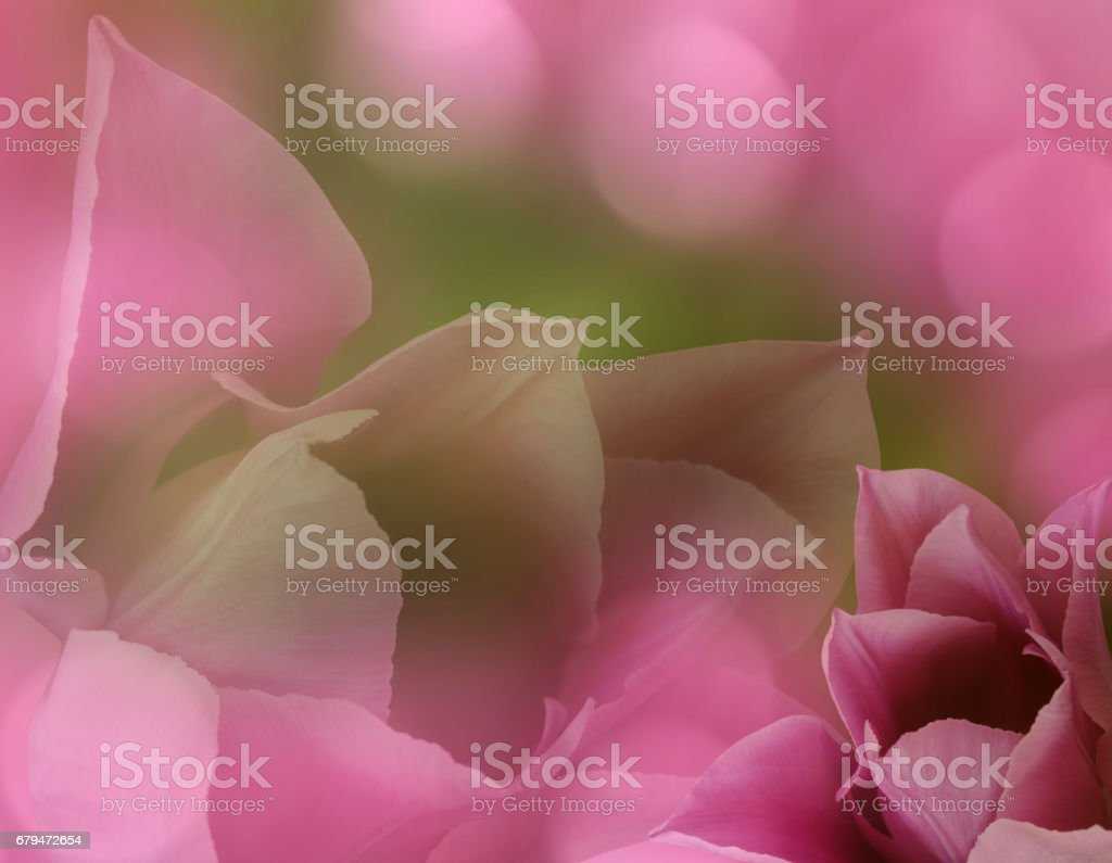 Flowers tulips on blurry pink-green background bokeh. Pink  flowers tulips   Floral collage.  Flower composition. Nature.'n stock photo