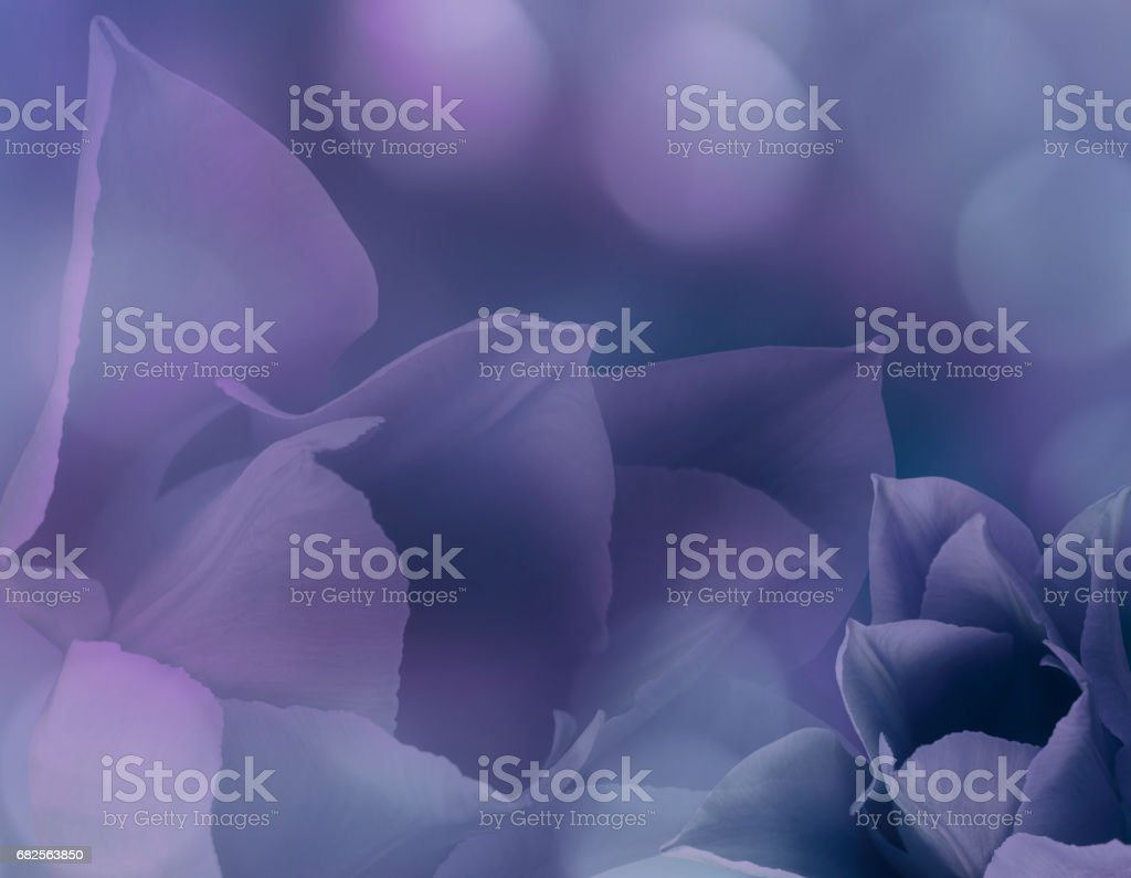 Flowers tulips on blurry purple-blue background bokeh. Purple flowers tulips   Floral collage.  Flower composition. Nature. stock photo