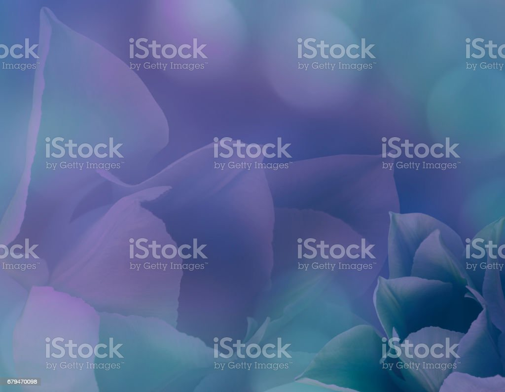Flowers tulips on blurry purple-turquoise background bokeh. Purple flowers tulips   Floral collage.  Flower composition. Nature. stock photo