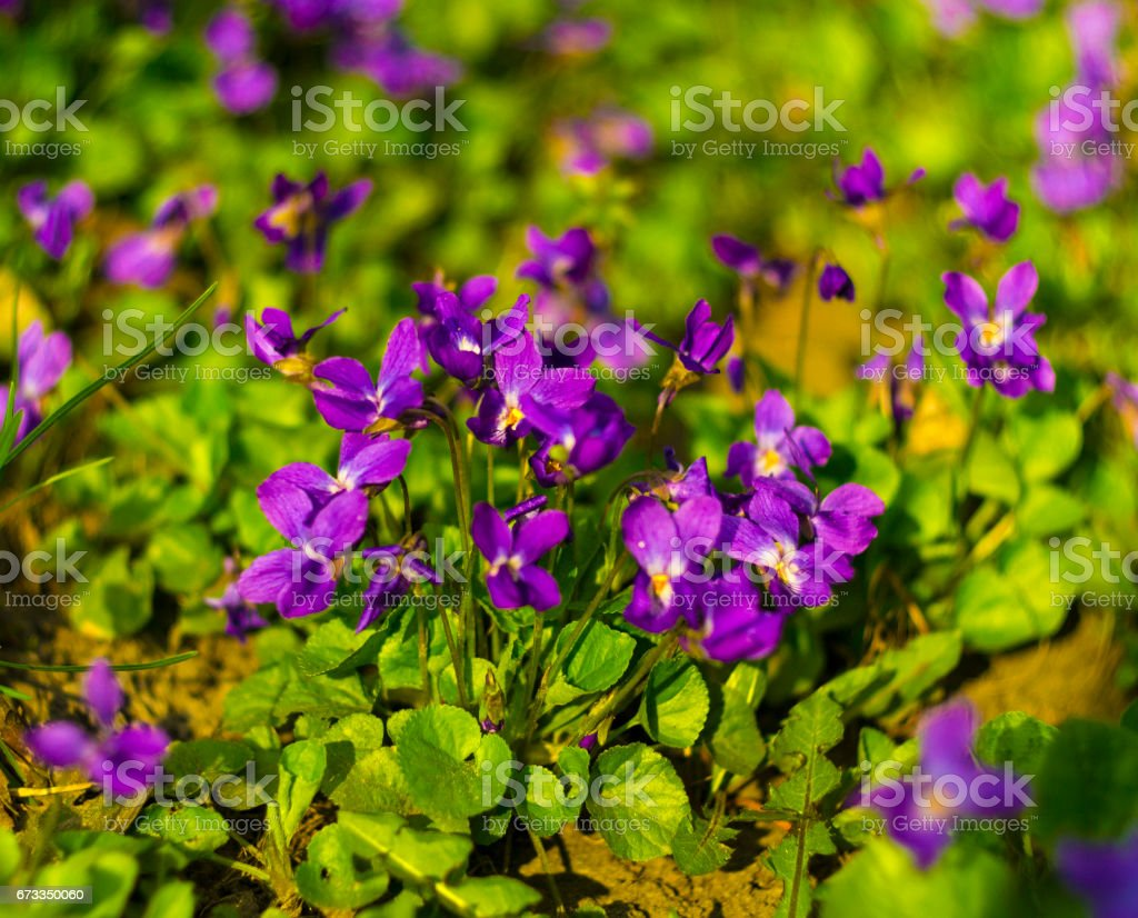 Flowers violets. Wood violets flowers close up. viola odorata stock photo