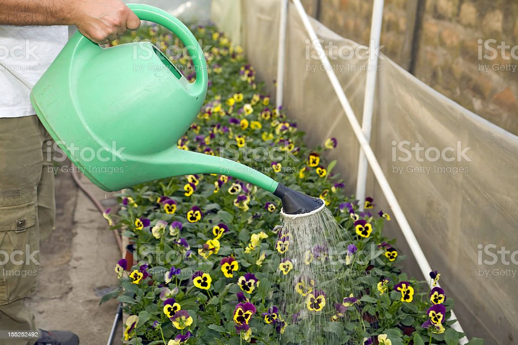 Flowers watering royalty-free stock photo