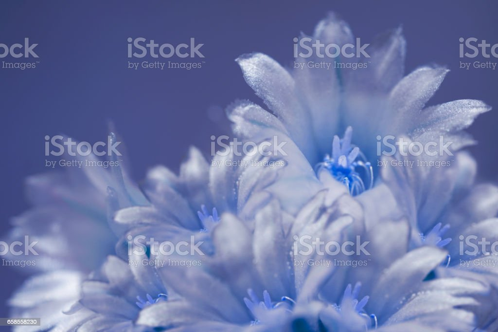 flowers white-blue on blurry blue background. The petals shine in the sun. Close-up.  floral collage. flower composition. Nature. stock photo