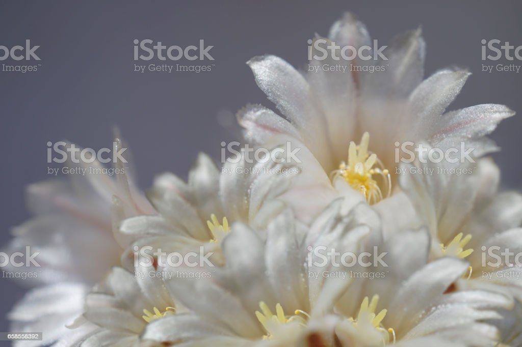 flowers white-gray on blurry gray-blue background. The petals shine in the sun. Close-up.  floral collage. flower composition. Nature. stock photo