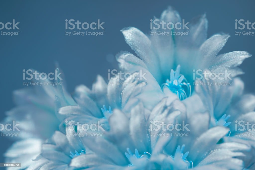 flowers white-turquoise on blurry blue background. The petals shine in the sun. Close-up.  floral collage. flower composition. Nature. stock photo