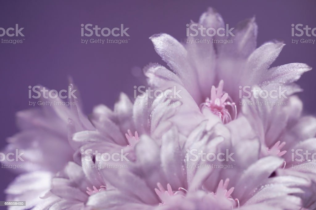 flowers white-violet on blurry gray-blue background. The petals shine in the sun. Close-up.  floral collage. flower composition. Nature. stock photo