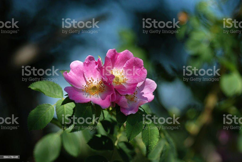Flowers Wild Rose stock photo