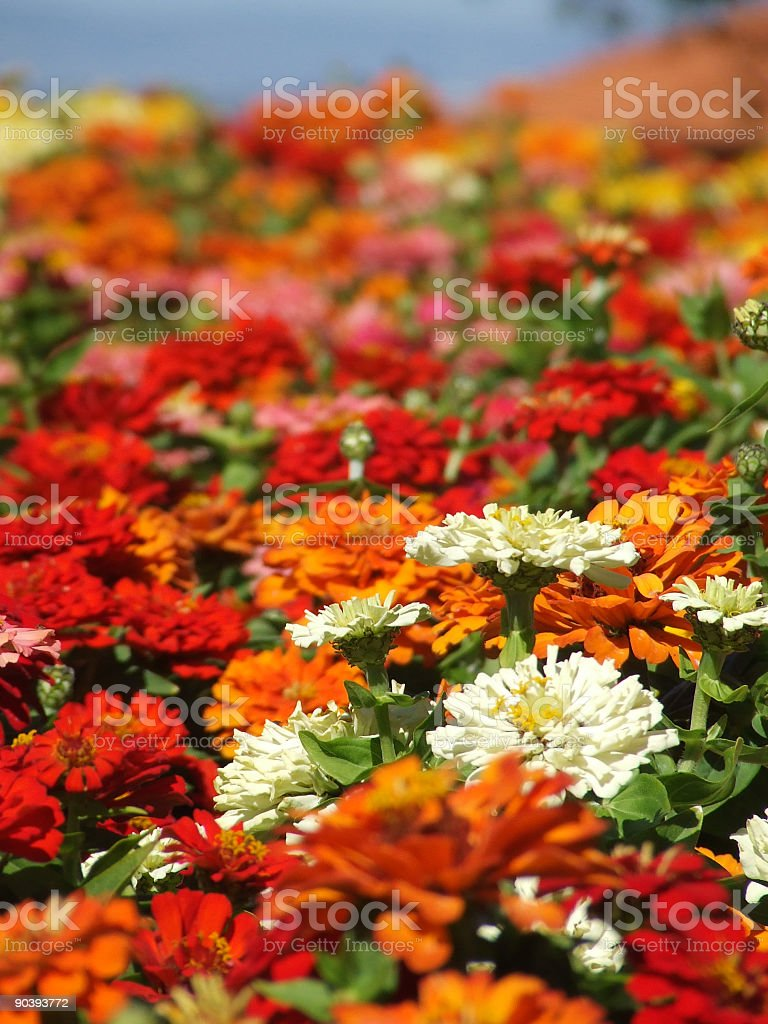 Flowers - Zinnias royalty-free stock photo