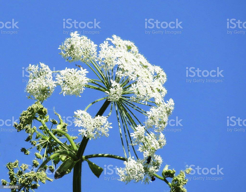 Flowerses Altaya royalty-free stock photo