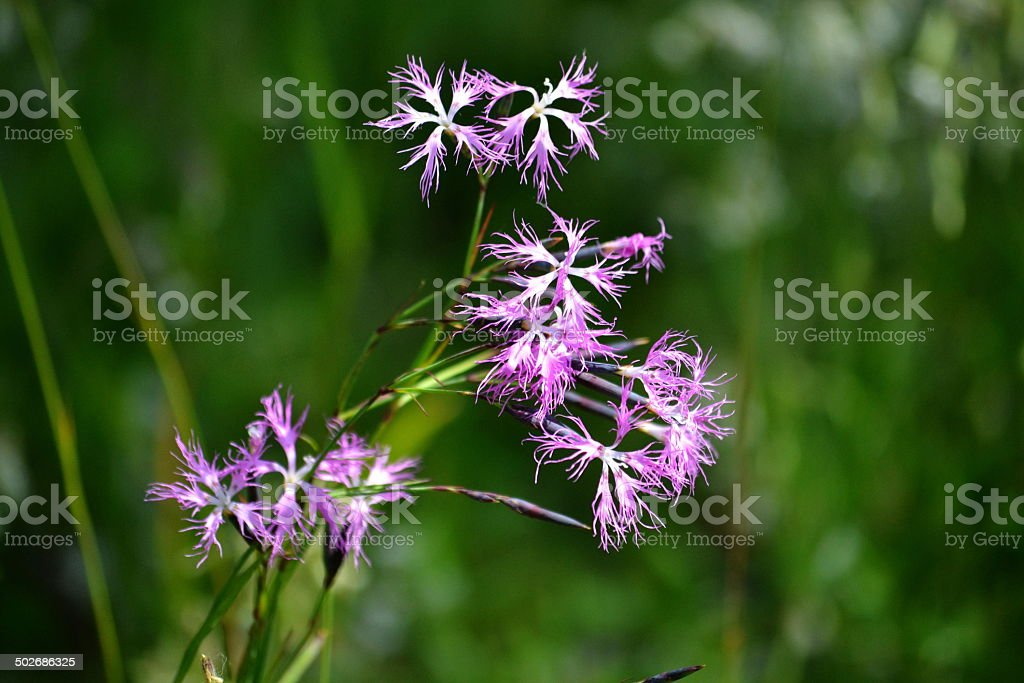 Flowerses Altaya royalty-free stock photo