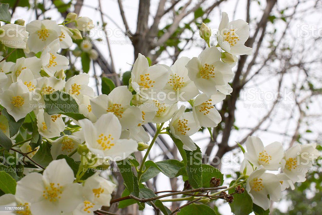 flowerses jasmine royalty-free stock photo