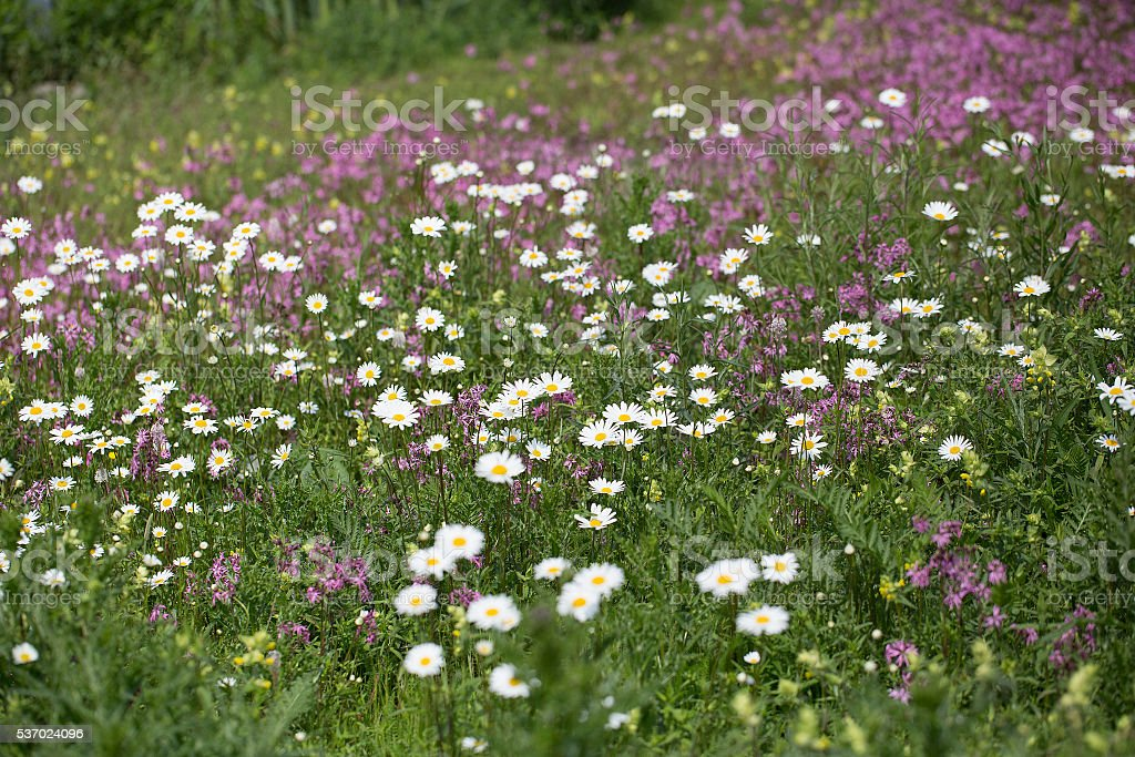 Flowery field with Ox-eye Daisy and Ragged Robin stock photo