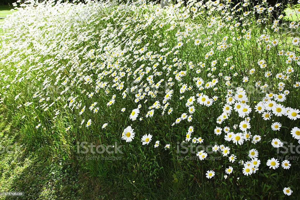 Flowery meadow in  summer with marguerites. royalty-free stock photo