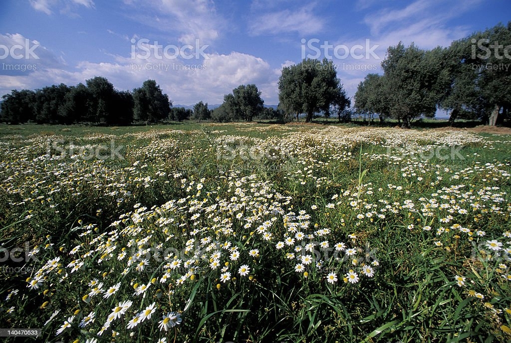 flowery meadow royalty-free stock photo