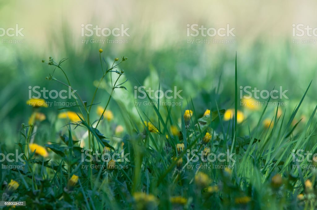 flowery meadow with crowfoot and hawkbit stock photo