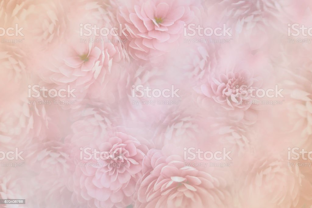flowesr on blurry pink background . Pink-white  flowers chrysanthemum.  floral collage.  Flower composition. Nature. stock photo