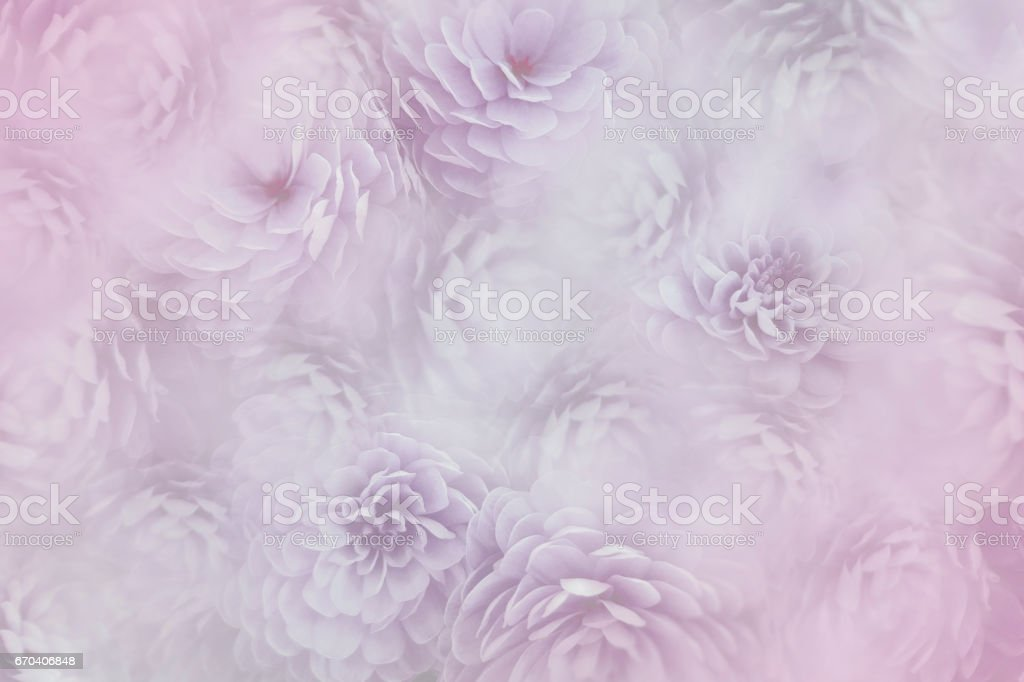 flowesr on blurry pink background . Violetwhite  flowers chrysanthemum.  floral collage.  Flower composition. Nature. stock photo