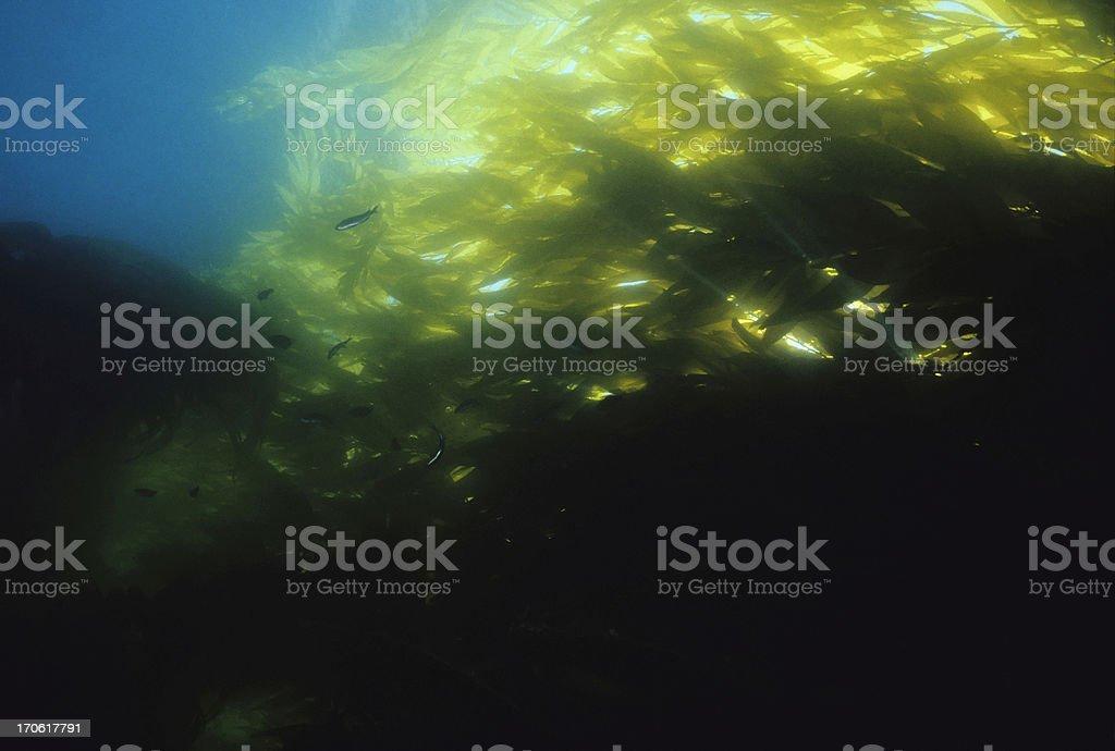 Flowing Kelp stock photo