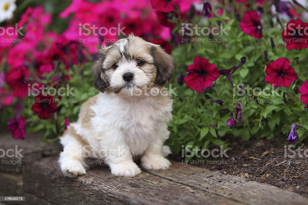 Fluffy, Adorable Puppy Sits in Garden stock photo