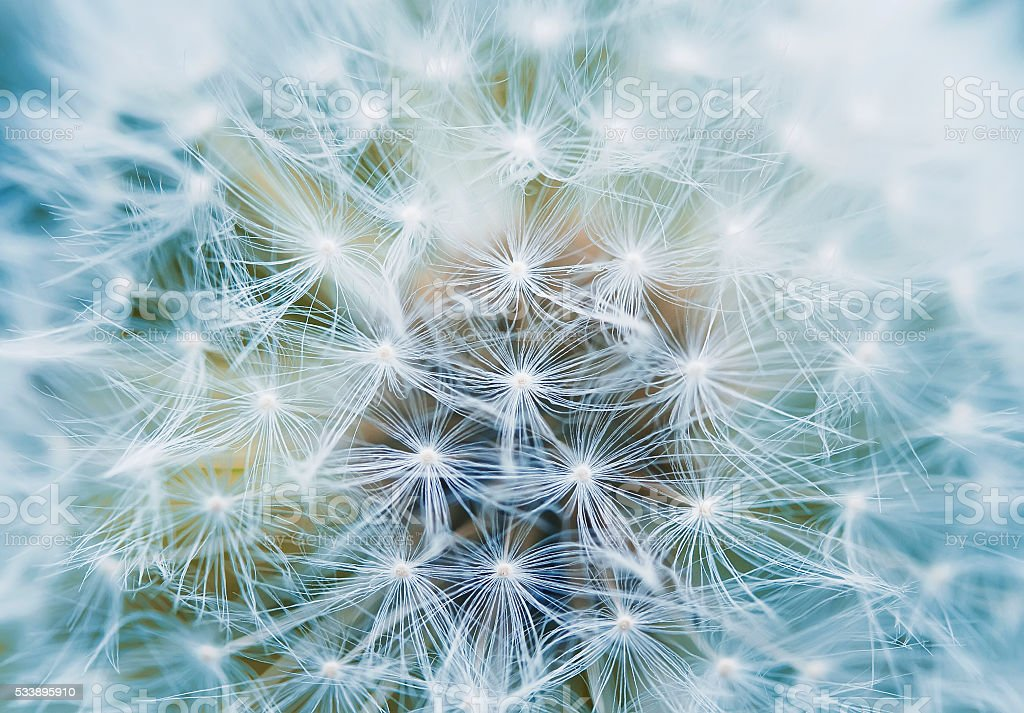 fluffy and airy inflorescence of a dandelion closeup stock photo