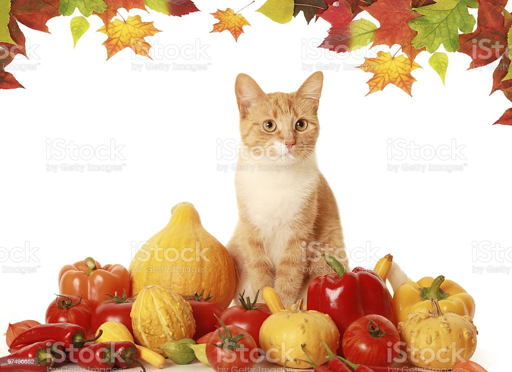 fluffy autumn cat royalty-free stock photo