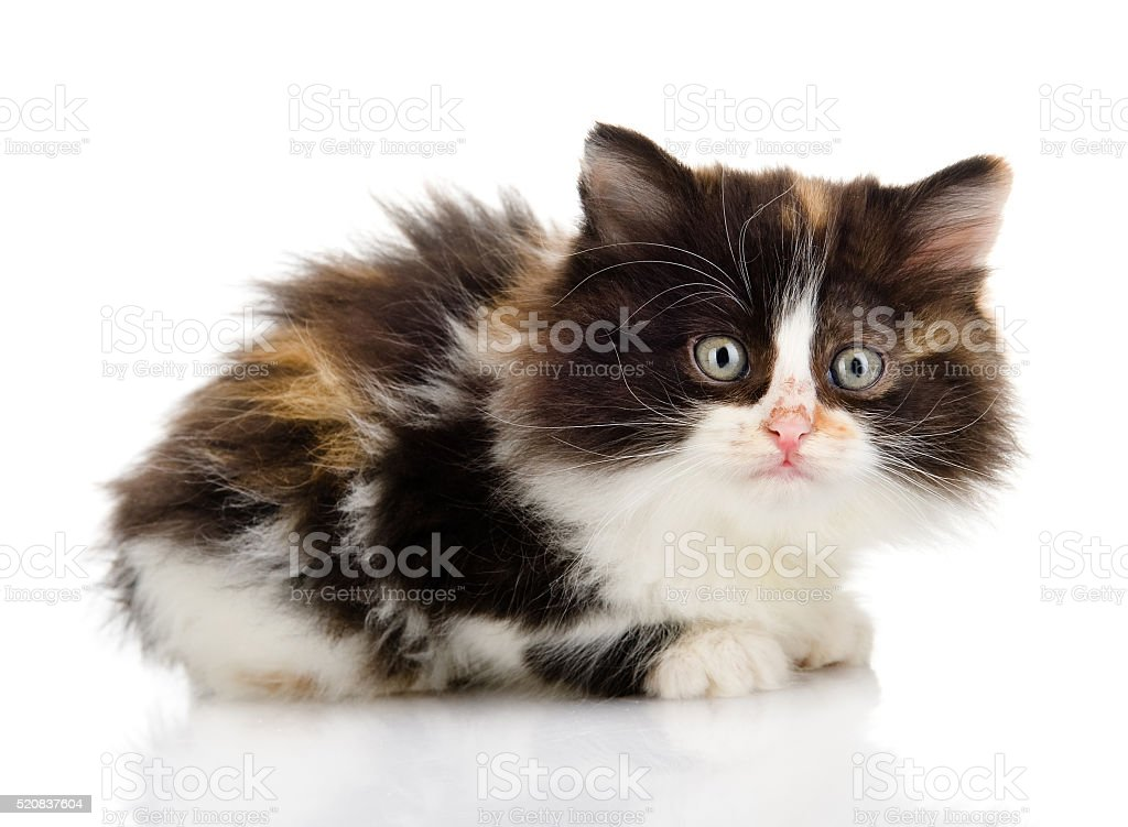 fluffy  beautiful kitten. looking at camera. isolated on white background stock photo