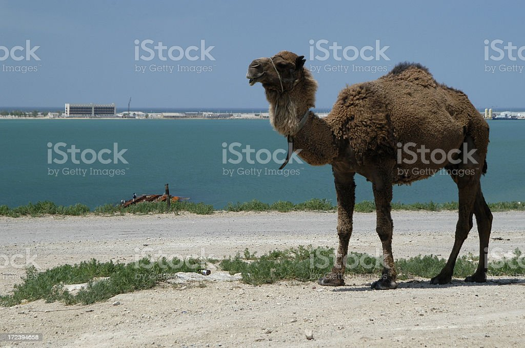 Fluffy Brown Camel by the Sea stock photo
