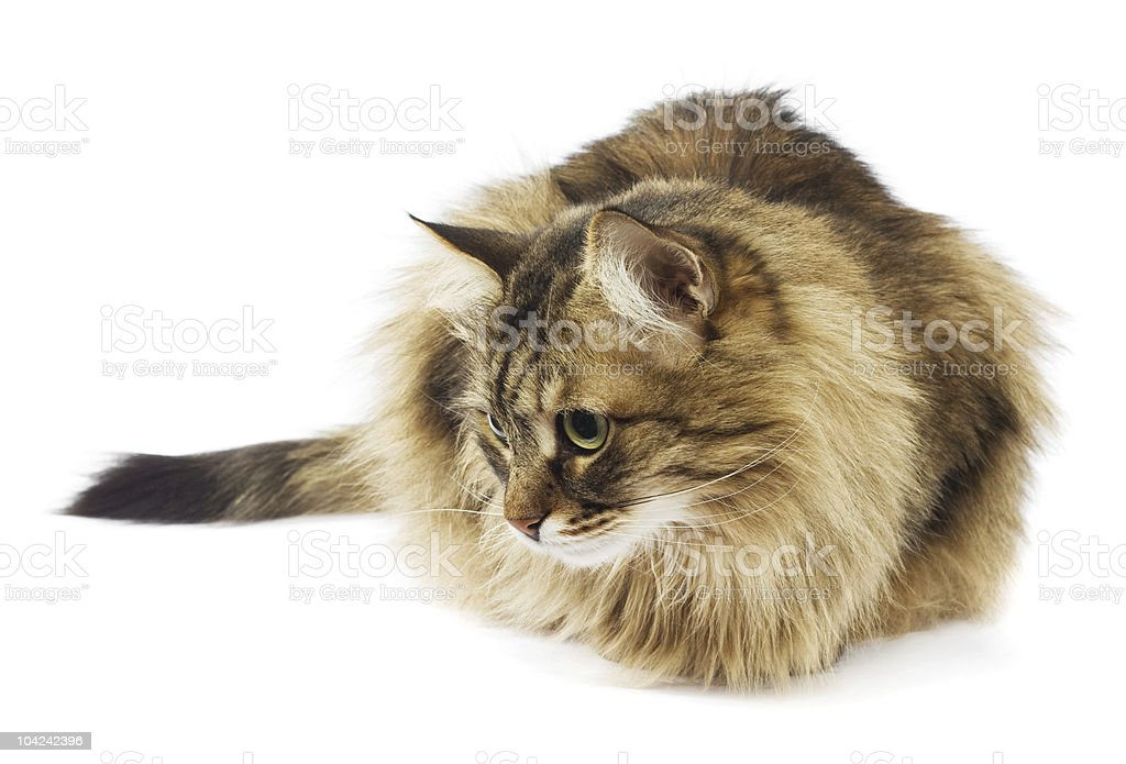 Fluffy cat looking. Isolated stock photo