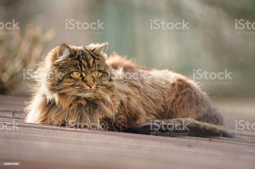 Fluffy cat on the roof stock photo